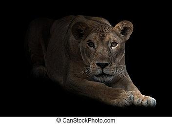 female lion in the dark