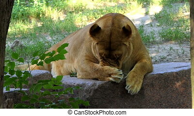 Female Lion is Licking Its Paw in a Funny Way