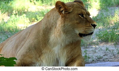 Female Lion is Yawning in a Funny Way