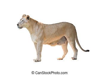 female lion isolated on white background
