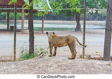Female lion looking out of the cage. - Female lion looking...