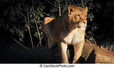 Female Lion Rests On Log In Evening