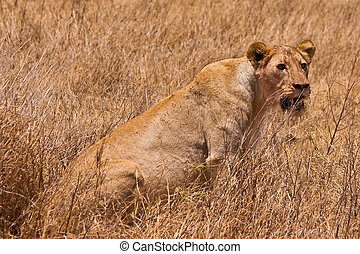 Female lion sitting in the grass
