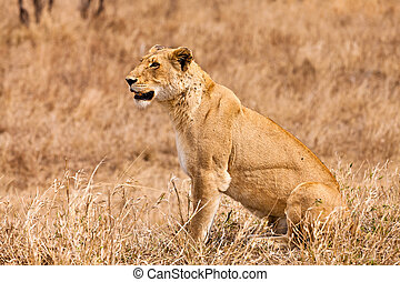 Female lion sitting in the grass in close up