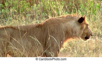 Female Lion Stalking in Golden Grass