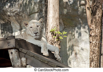 Female lion.