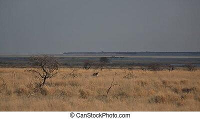 Female lion walking in the savannah - Isolated female lion...