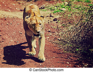 Female lion walking. Ngorongoro, Tanzania