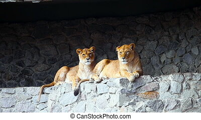 Female lions looking out