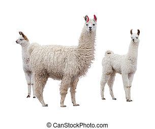 Female llama with baby - Three llamas on the side of white...