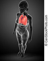 Female lungs anatomy