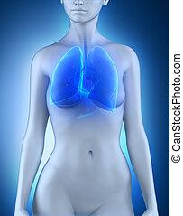 Female lungs respiratory system anatomy