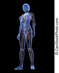 female lymphatic system - 3d rendered illustration of a ...