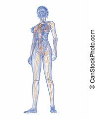 female lymphatic system - 3d rendered illustration of a...
