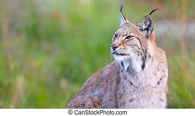 Female lynx sitting in grass meadow - Beautiful adult female...