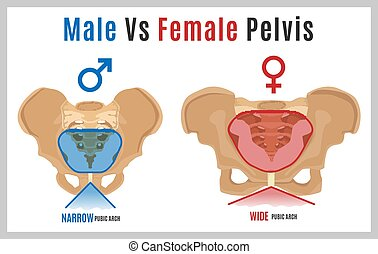 Female Male Pelvis-09 - Male vs female pelvis. Main...