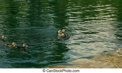 Female Mallard duck and her duckling swimming in the lake -...
