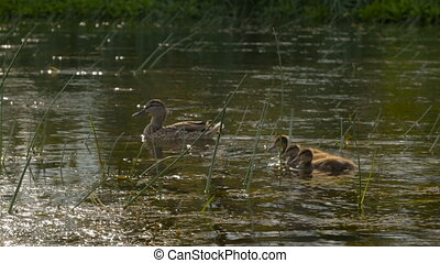 Female mallard duck with ducklings swimming in the river.