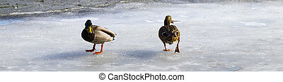 Female mallard watching two male ducks fighting over food on melting ice