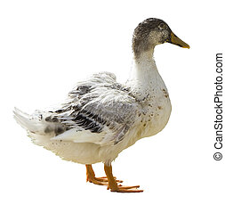 Female Mallard, wild duck, isolated on the white background