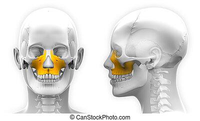 Female Maxilla Bone Skull Anatomy - isolated on white
