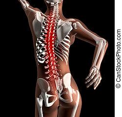 Female medical skeleton with spine highlighted