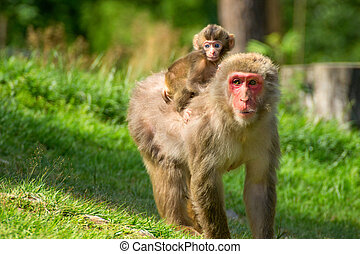 Female monkey with baby on her back