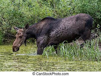 Female Moose Drinks from Algae Covered Water