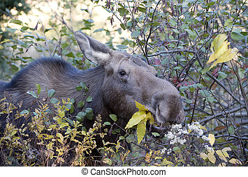 moose eating in the forest