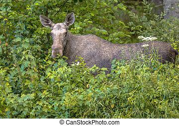 Female moose or elk  looking in camera