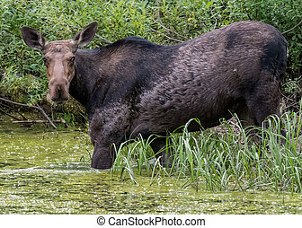 Female Moose Wades into Algae Covered Bog