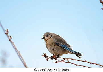 Female Mountain Bluebird - Female mountain bluebird perched...