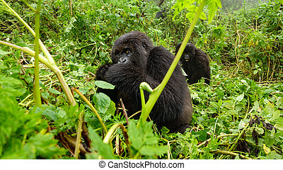 Female mountain gorilla feeding in the forest - Front view...