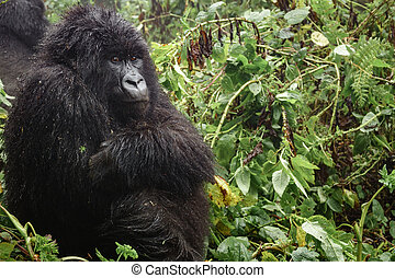 Female mountain gorilla thinking in the forest, closeup -...