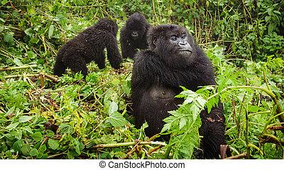 Female mountain gorilla thinking with two baby gorillas -...