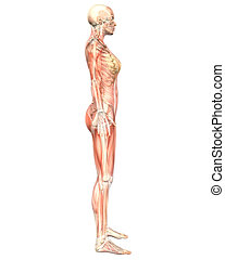 Female Muscular Anatomy Semi Transparent Side View