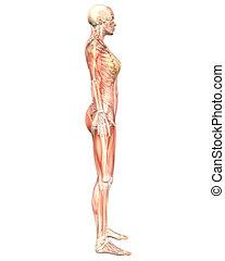Female Muscular Anatomy Semi Transparent Side View