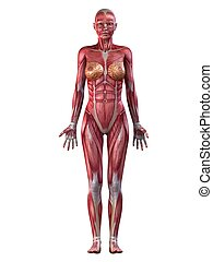 female muscular system - 3d rendered illustration of a ...