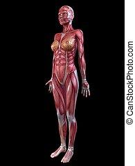 female muscular system