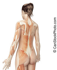 Female muscular system from behind - 3d illustration of the...