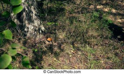 female mushroom picker girl pick boletus mushroom and put it...