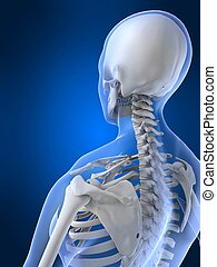 female neck - 3d rendered illustration of a female skeletal...
