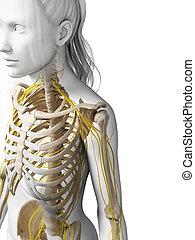Female nervous system - 3d rendered illustration of the ...