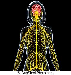 Female nervous system with brain - 3d rendered illustration...