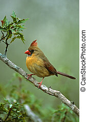 Female Northern Cardinal - a beautiful female northern ...