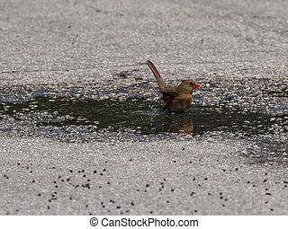 Female Northern Cardinal Bathing in a Puddle