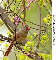 Female Northern Cardinal, Cardinalis cardinalis - Female ...