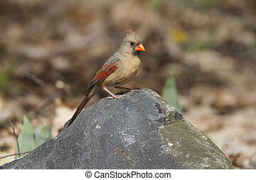 Female Northern Cardinal (Cardinalis cardinalis) perched on a rock - Grand Bend, Ontario