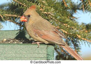Female Northern Cardinal (cardinalis) on a Feeder