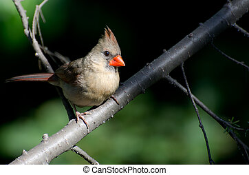 Female Northern Cardinal Perched in a Tree